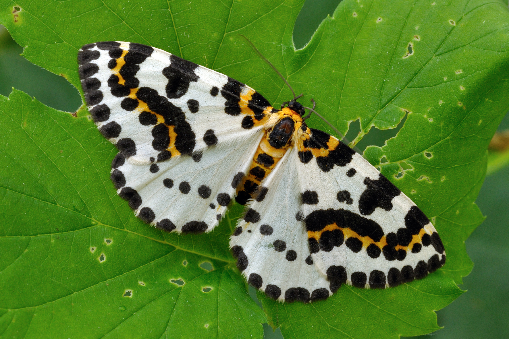 Schmetterling Des Jahres Deutschland Summt