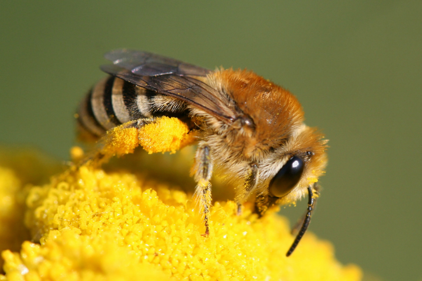 Wildbienenarten - Deutschland summt!